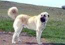 Kangal Köpeği özellikleri